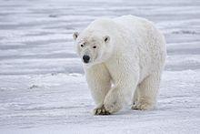Polar Bears Older But Still Threatened
