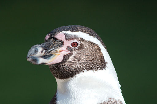 It's Rats vs. Penguins on Contested Chilean Island