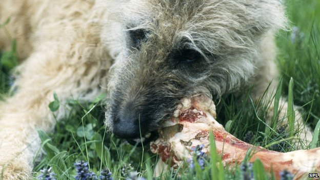 Dogs' evolution shows why they 'love' gnawing on bones