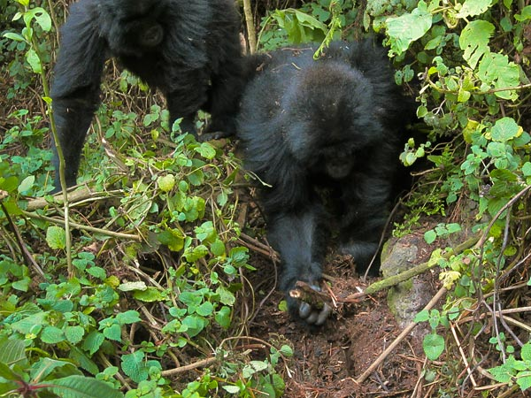 Gorilla Youngsters Seen Dismantling Poachers' Traps—A First