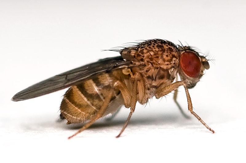 Study of Fruit Fly Chromosomes Improves Understanding of Evolution and Fertility