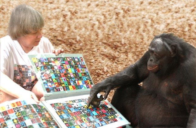 Bonobo Genius Makes Stone Tools Like Early Humans Did