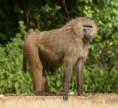 For Some Primates, Survival of the Nicest