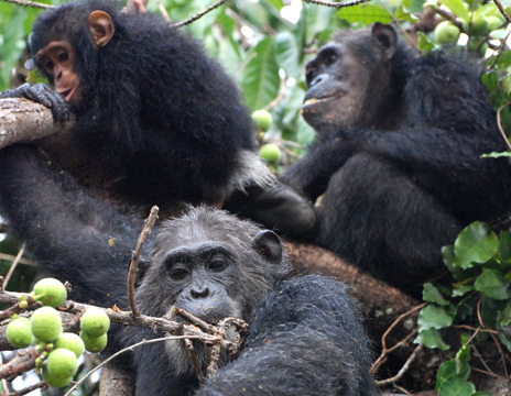 Chimps and Humans Share Another Evolutionary Link: Gut Bacteria