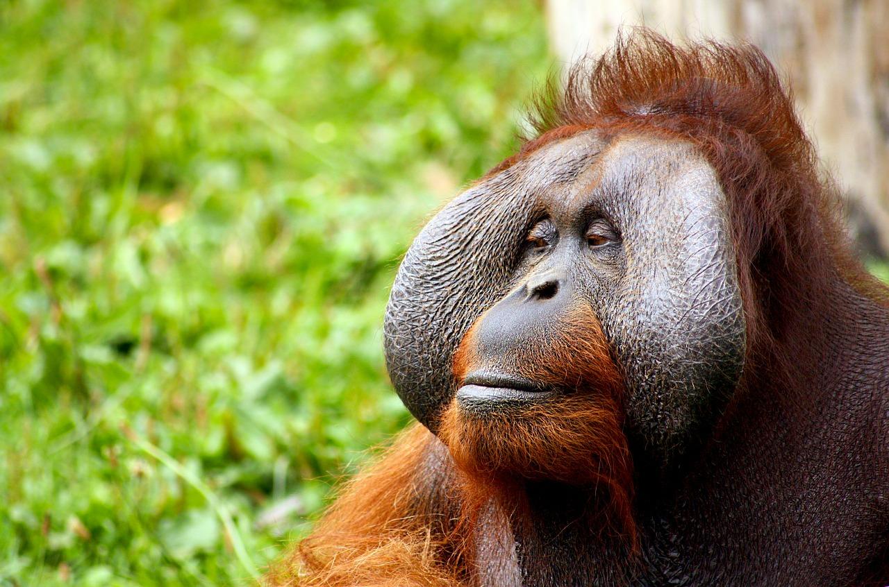 Is Orangutan Culture Made of Ideas?
