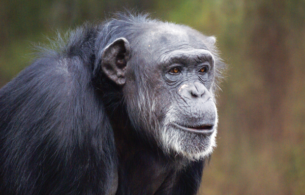 Claims of Fairness in Apes Have Critics Crying Foul