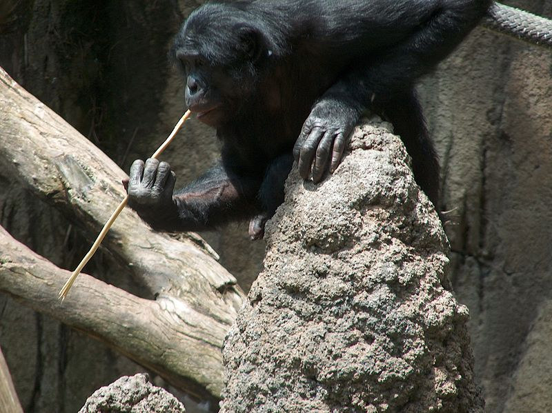 Chimps Learn Tool Use by Watching Others