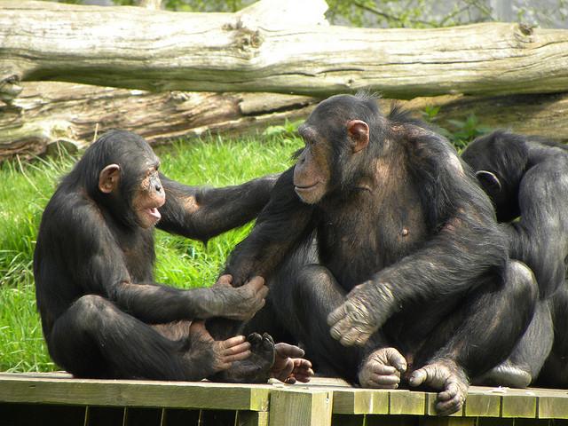 Chimps Have a Sense of Fairness