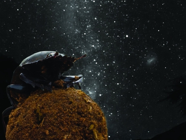 Dung beetles guided by Milky Way