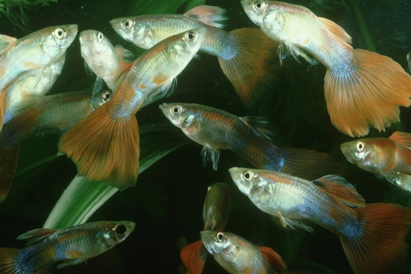 Scientists Breed Big-Brained Guppies to Demonstrate Evolution's Trade-offs