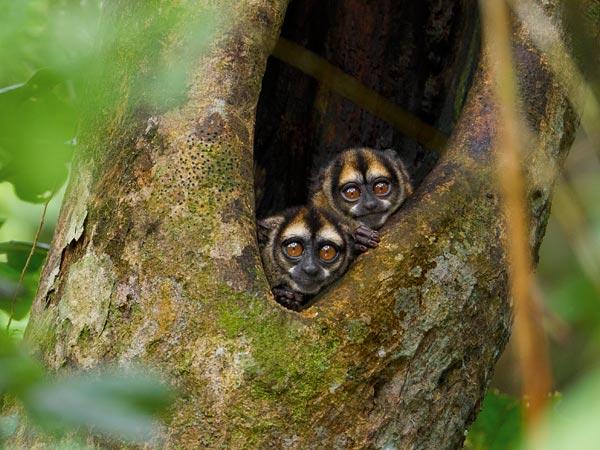 Owl Monkeys Shed Light on Evolution of Love