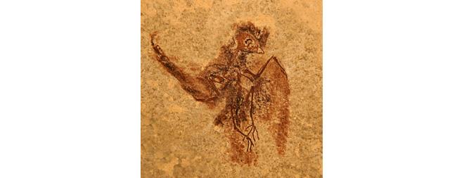 Tiny Ancient Bird Was Relative of Hummingbirds