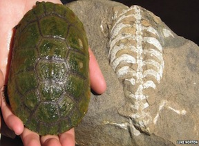 The Turtle Shell: 260 Million Years in the Making