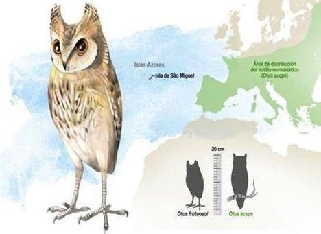 New Species of Extinct Owl Found in Azores Islands