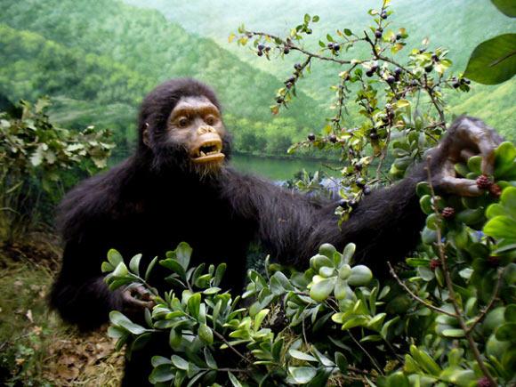 Miocene Primate Didn't Walk on Two Feet