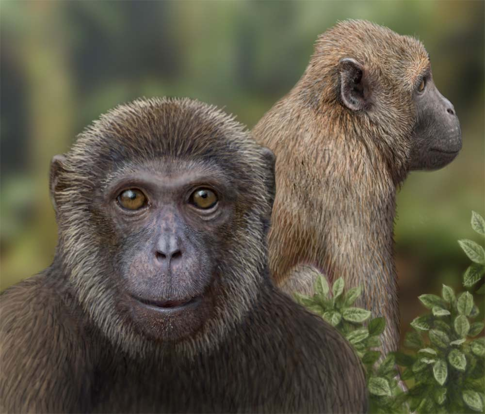 Early Primate Fossils Confirm Divergence Estimates of Old World Monkeys and Apes