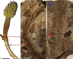 Fossil Flower Reveals Ancient History of Tulip Tree