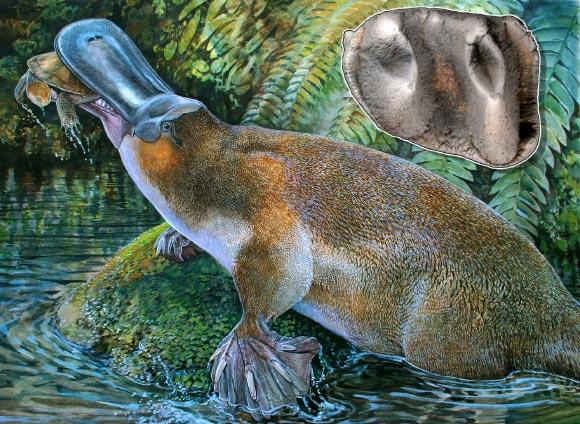 Paleontologists Find Largest Platypus Ever in Australia