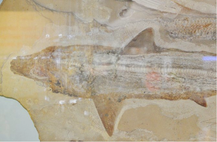 Prehistoric Sharks Ruled Ancient Seas of France and the UK