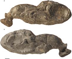 Shark Fossil Reverses Bony Fish Ancestry