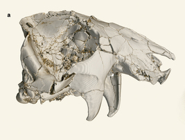 Unique Skull Offers Insights on Mesozoic Mammals