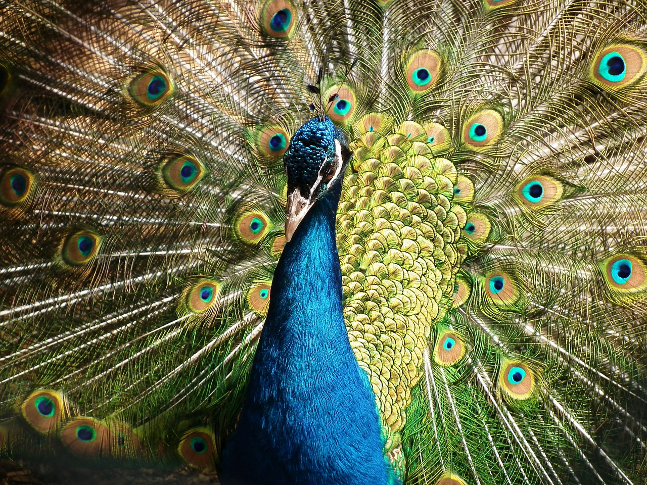 What the peacock can teach us about trust:  An evolutionary moral for politicians