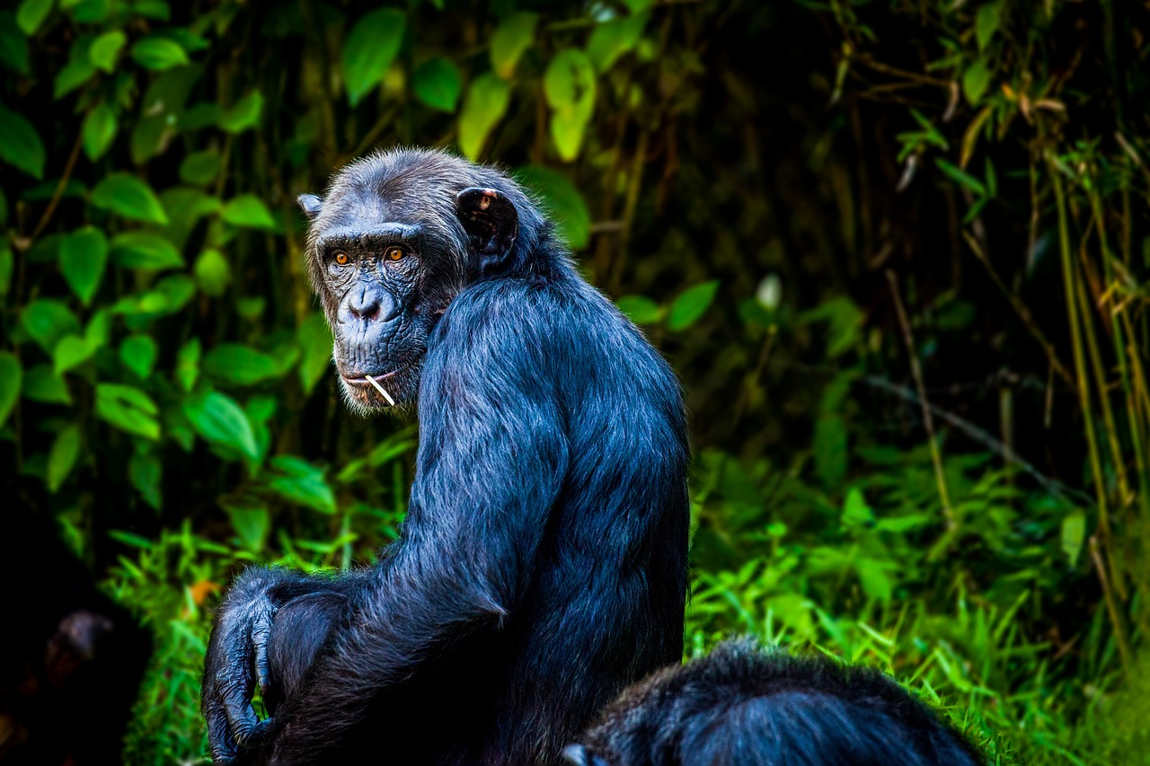 Why Chimpanzees don't stereotype, we do, and whales might