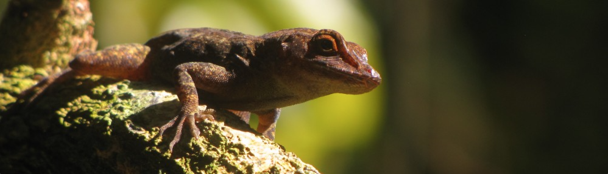 """Our Assumptions Influence the """"Facts"""" About Sexual Behavior: The Curious Case of Jerry Coyne, Holly Dunsworth, and Anolis Lizards"""