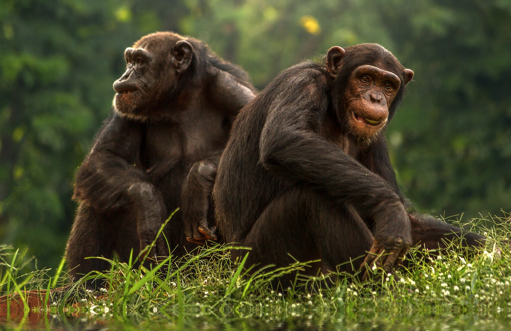 Sex Roles Are Flexible in Chimpanzees and Bonobos. What Does That Say About Human Evolution?